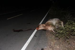 vaca morta por moto na bA 409