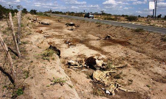 morte de animais em decorrencia da seca -1