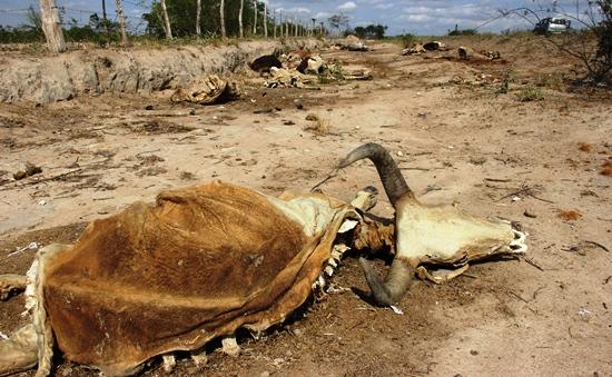 morte de animais em decorrencia da seca - des