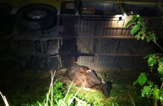 Uma vaca ficou debaixo do ônibus