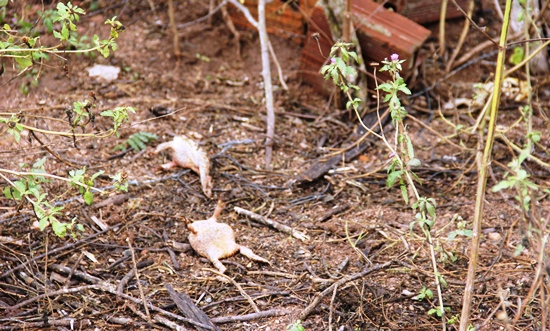 Poucos metros do corpo de Jefson foram encontrados três sapos mortos supostamente também por choque no arame.