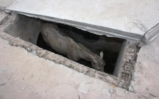 cavalo cai em boca de lobo - 1