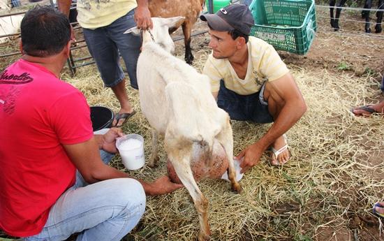 Ordenha em cabras a melhor classificada deu mais de 10 kg de leite em duas etapas.