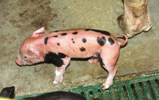 porco nasce com dois sexos - foto1- Raimundo Mascarenhas - des