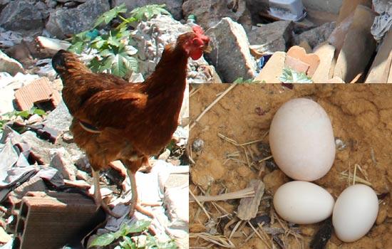 galinha-bota-ovo-três-vezes