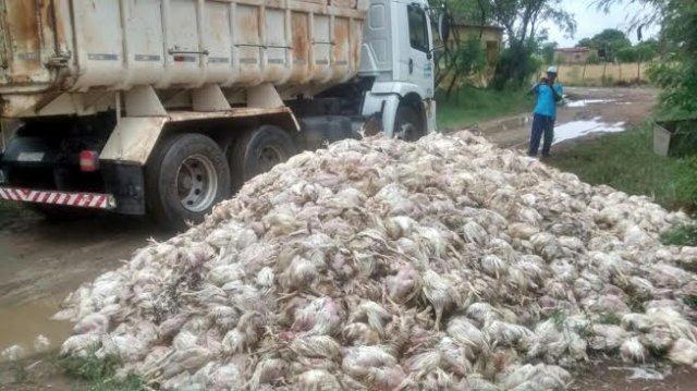 frangos mortos