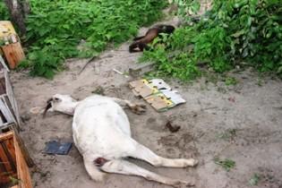 Animais levados para o terreiro da casa, mas não resistiram.