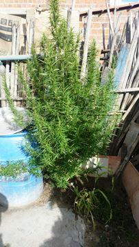 A planta já tinha aproximadamente um metro de altura