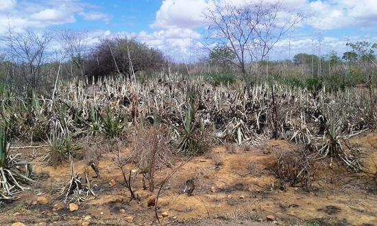 Situação atual de vários campos de sisal