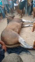 Animal venceu a corrida, mas morreu em seguida.