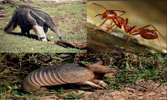 Formiga em Jucuruçu parece não temer seu maior predador e Tatu quer jogar areia na cara de ambos
