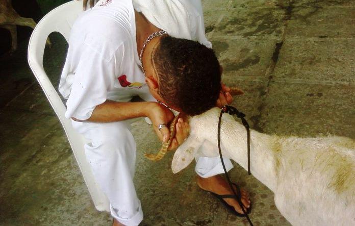 Caprinos tem sido bastante sacrificado em rituais | Foto divulgação